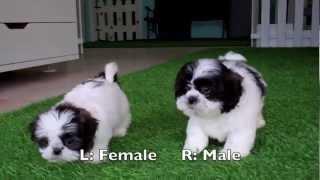 Shih Tzu Male & Female Puppy For Sale In San Diego California!