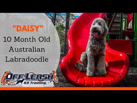 """10 Month Old Australian Labradoodle """"Daisy"""" Before/After Video   Dog Trainer Georgia"""