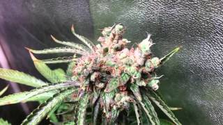 icemud s grow update video day 67 flowering with budmaster cob led grow lights