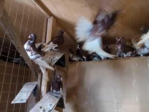 голуби одесские горбоносые фото пожалуйста