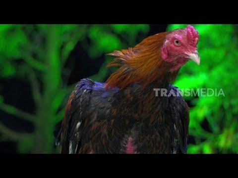 Viral, Ayam Jago Seharga 1 Miliyar Rupiah   HITAM PUTIH (08/02/19) Part 2
