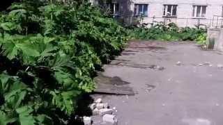 Борщевик атакует детский сад