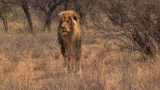 TOMS LION HUNT V2
