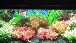 Aquariums West Tropica Plants Singapore Plants Florida Plant