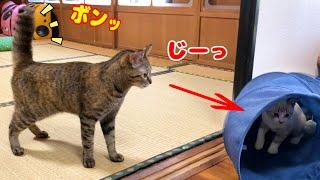尻尾ボーンとなりながらも子猫に歩み寄りたい繊細で慎重なお姉ちゃん猫♡