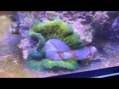 My Mini Maxi Carpet Anemone Ate My Fish!