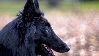 ***Belgian Sheepdog Training Guide FreeMini Course***