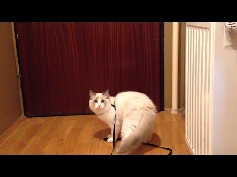 Cute kitten walking on a leash - Jeremy The Ragdoll Cat