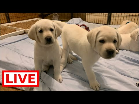 LIVE STREAM Puppy Cam! Adorable Lab Puppies in their Play Room