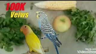 Best Softfood for Budgies & Lovebirds Winter Season part 1 in ( Urdu / Hindi )