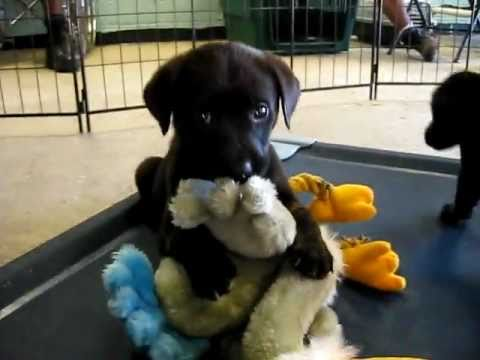 3 Female Golden Retriever Black Lab Mix Puppies Youtube