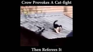 Crow provokes cat fight then serves as referee..