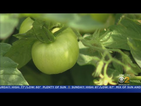 Chris Michaels - Community Garden Grows With Purpose In Englewood