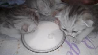Как кормить котят?!2 недели! Шотландские котята!Первый прикорм-СЛИВКИ!