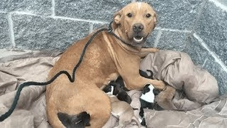 Pit Bull Gives Birth to 10 Puppies And Then The Unforgivable Happens