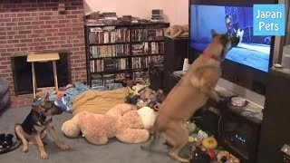 スーパーヒーローになりたい?!元警察犬のワンコが映画を見て大暴れ! - Japan Pets thumbnail
