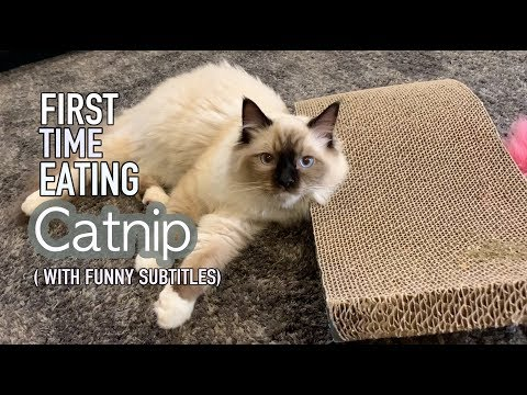 Ragdoll Kitten | Catnip for the first time! (funny subtitles)
