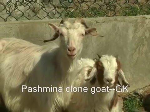 Pashmina clone goat