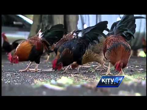International buzz surrounding Kauai's chickens