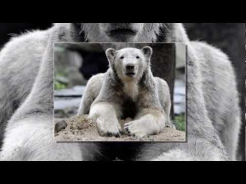 Knut The Polar Bear,  A Tribute Song...Fly