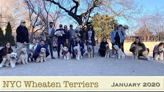 Wheaten Terriers of NYC Meetup