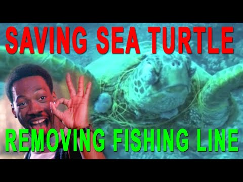 Rescue a Hawaiian Green Sea Turtle in Oahu- Scuba Dive Hawai