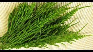 Хвощ полевой лечебные свойства и противопоказания