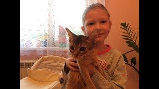 видео Абиссинская кошка