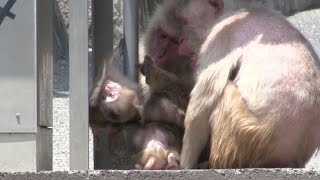 Mom get angry the baby monkey.