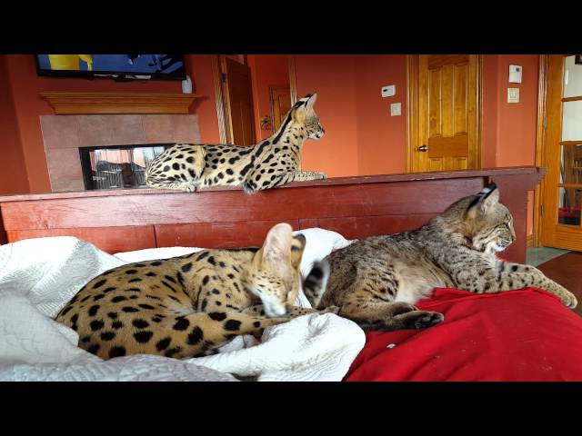 Servals & Bobcat sleeping w/owners