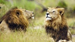 Ein Löwenrudel in Angst