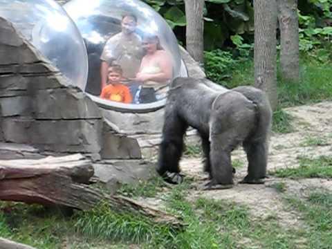 Angry Gorilla - YouTube - photo#47
