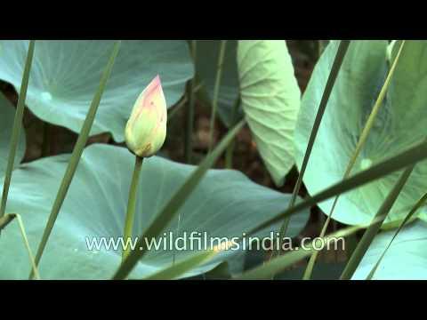 Bud of Lotus flower (Nelumbo nucifera)