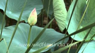Bud of Lotus flower (Nelumbo nucifera)