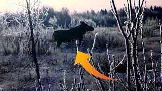 Охота на лося. ШЕСТЬ лосей в одном загоне!!! MOOSE Hunting