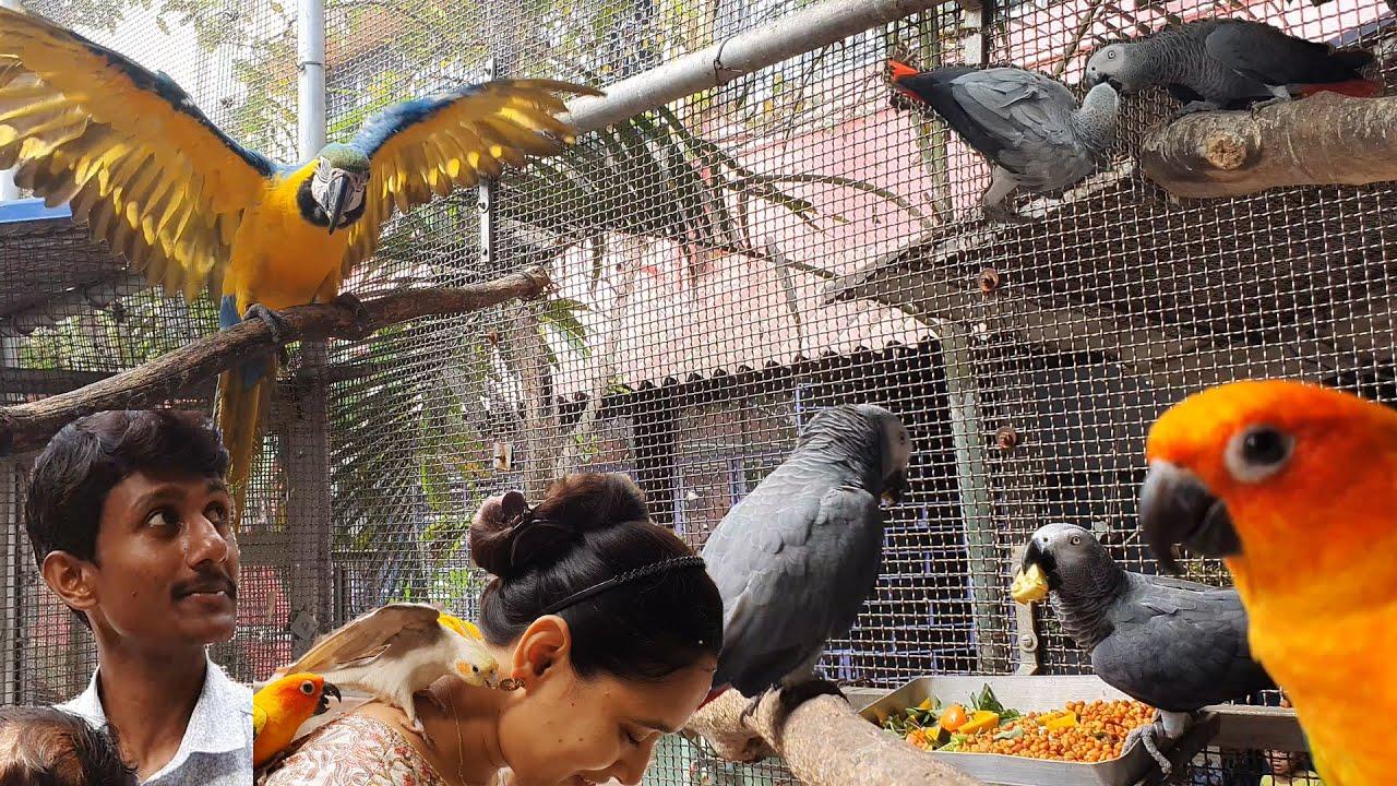 Cockatiels Love Birds Budgies Parrot  Best Breeding Mixed Seeds / African Grey Main Food Diet.