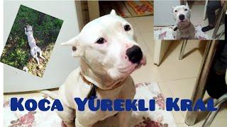 Pitbull Ailesi Tv-TYSON'dan Geriye Kalan Son Kareler / Bizi affet paşam😭