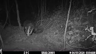 One new badger cub (2020) probably the first walk outside the sett?