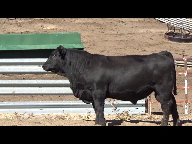 Connealy Angus Lot 87
