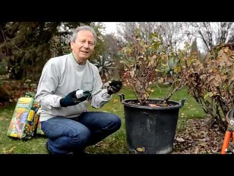 Poda de rosales cuidaplantas pepe plana jardiner a bajos - Poda de hortensias epoca ...