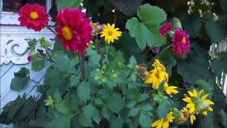 Мой маленький (4 сотки) прекрасный сад в стиле ШЕББИ, ОСЕННИЙ БЛЮЗ моего сада.