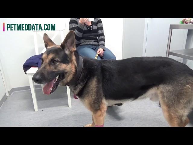 Ryti-koira verenluovuttajana AlmaVet-klinikalla