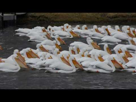 Pelican Migration Thru Antioch, Illinois