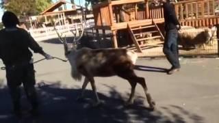 東武動物公園に期間限定でトナカイがやってきました。 是非会いに来てく...
