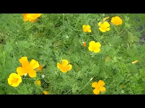 California Poppy - From seedling to seeds.