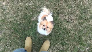 Pomeranian Practicing Off Leash Come Chicago Dog Training