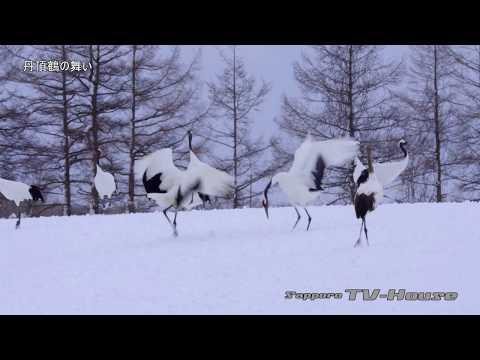 タンチョウの舞い Dance of Red-crowned Crane(Japanese crane) 4K(UHD)
