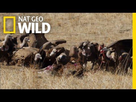 Black Vulture, Gourmet of Corpses | River Fox