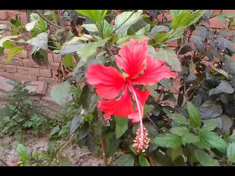 Energy Booster For Hibiscus Plantfertiliser Which Helps For More