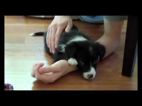 Cutest border collie puppy ever